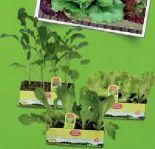 Bio-Salat-Gemüsepflanzen von Zurück zum Ursprung