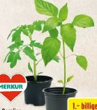 Gemüsejungpflanzen