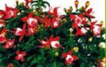 Fuchsia Busch