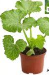 Zucchini Besonderheiten