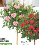 Rosen-Stämmchen