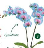 Schmetterlingsorchidee Blue Wonder