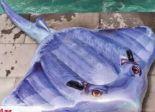 Schwimmtier Stachelrochen