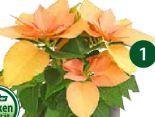 Herbststern Autumn Leaves von Dehner Marken Qualität