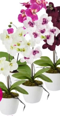 Orchidee Marie
