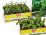 Bio-Kräuterjungpflanzen von Zurück zum Ursprung