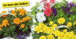 Beet-Balkonpflanzen von Piardino