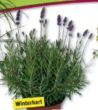 Lavendel von Piardino