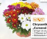 Chrysanthemenbusch Carneval