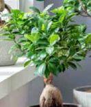 Birkenfeige Ginseng