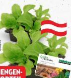 Bio Salat-Kohlgemüse von bellaflora biogarten