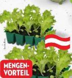 Bio Kopfsalat von bellaflora biogarten