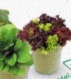Bio Salate von bellaflora biogarten