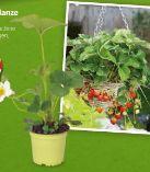 Bio-Erdbeerpflanze von Zurück zum Ursprung