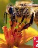 Bienen-Schmetterlingsblüher von Piardino