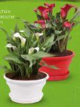 Topfpflanze Calla