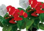 Christmas Anthurium