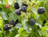 Bio Brombeere Lowberry