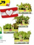 Bio-Salatpflanzen von Zurück zum Ursprung