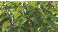 Portugiesischer Kirschlorbeer Angustifolia von Obi