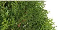 Lebensbaum Smaragd von Obi