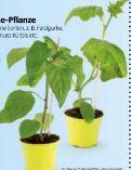 Bio-Fruchtgemüsepflanze von Zurück zum Ursprung