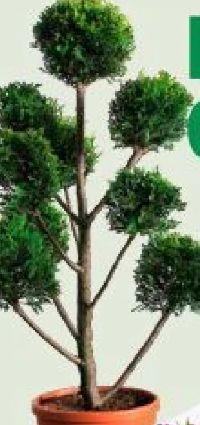 Pompon-Zypresse von Piardino