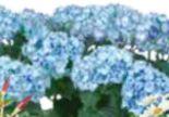Hortensienvielfalt