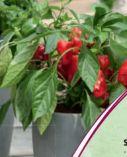Gemüsepflanzen von Piardino