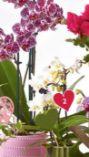 Orchidee Multiflora