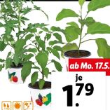 Gemüsepflanze