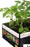 Historische Tomatensorten