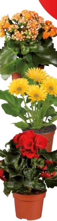 Blühpflanze